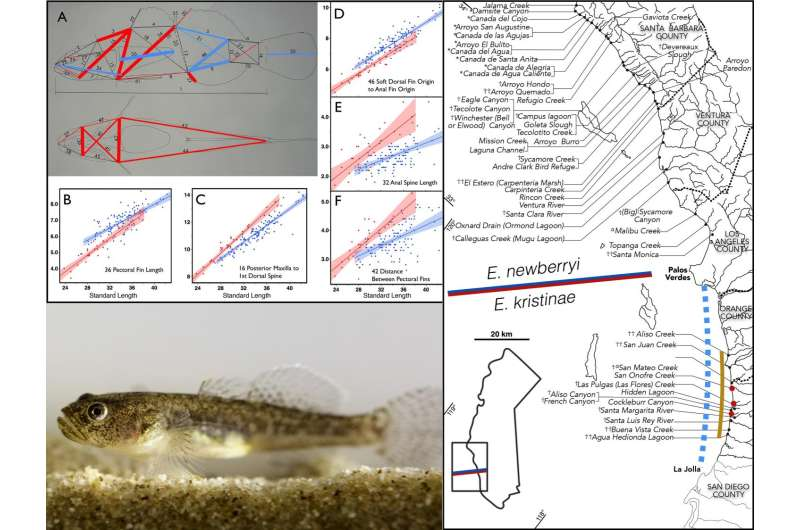 Morphology suggests an endangered goby in southern California is a new species