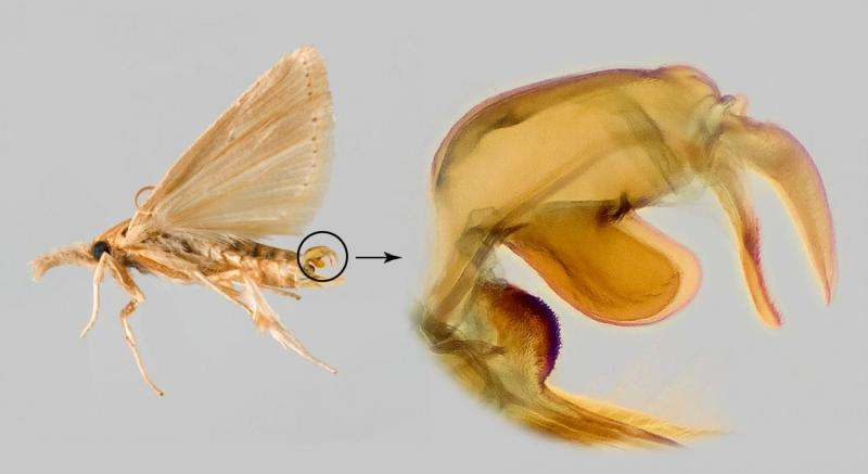 Moth genitalia is the key to snout grass borers from the Western Hemisphere