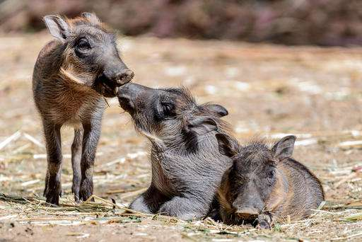 New baby warthogs get ready for Oakland Zoo debut