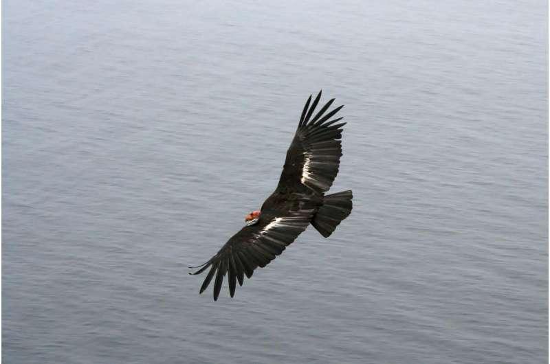 New evidence for California Condors' genetic bottleneck