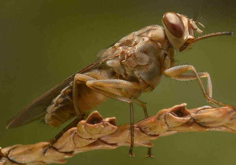 New insect imaging technique may help victims of sleeping sickness