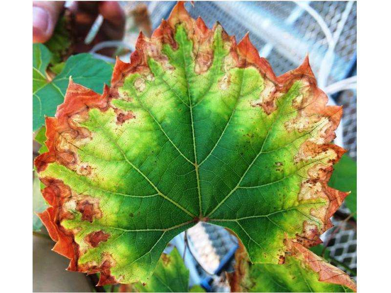 Newly identified enzyme may be the culprit in Pierce's disease grapevine damage
