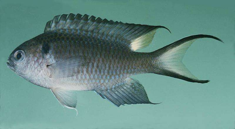 NSU researcher studying potential invasive species in S. Gulf of Mexico