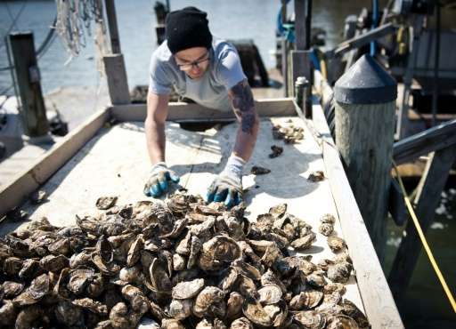 """Oysters, like these seen on March 20, 2014 from the Chesapeake Bay near Hollywood, Maryland, """"readly ingest"""" microplas"""