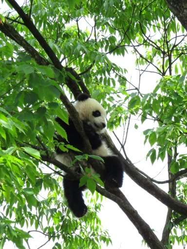 """Pandas status improved from """"endangered"""" to """"vulnerable"""" due to intensive conservation efforts by China"""