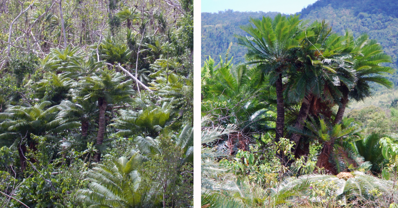 Parsing conservation information on cycad species
