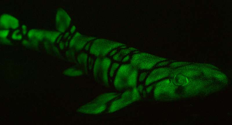 Patterns of glowing sharks get clearer with depth