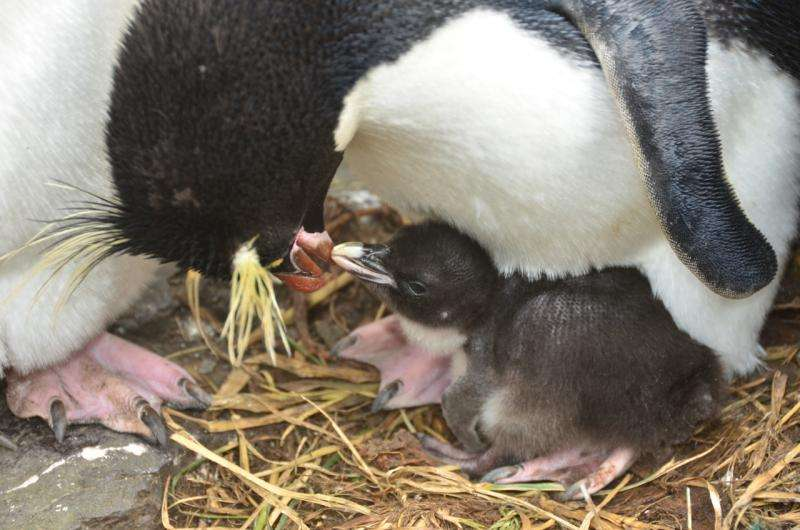 Penguin parents: Inability to share roles increases their vulnerability to climate change