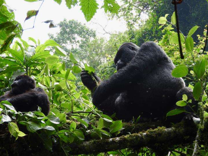 People can simultaneously give a hand to endangered apes and stay at safe distance