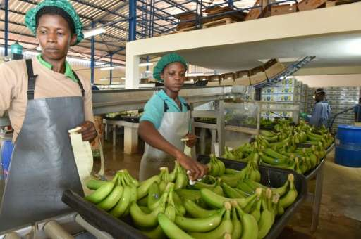 People work in a treatment and packaging bananas centre near Dabou, around 45kms from Abidjan, on July 7, 2016