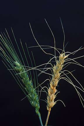 Plant scientists identify gene to combat crippling wheat disease