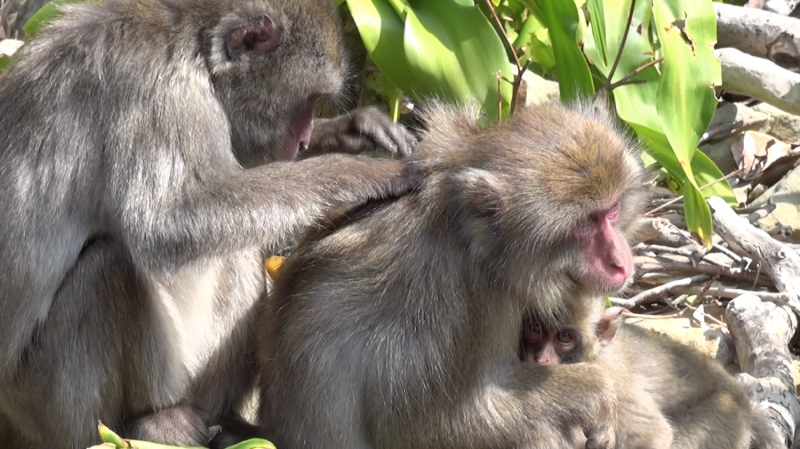 'Popular girls' have less lice -- in the monkey world