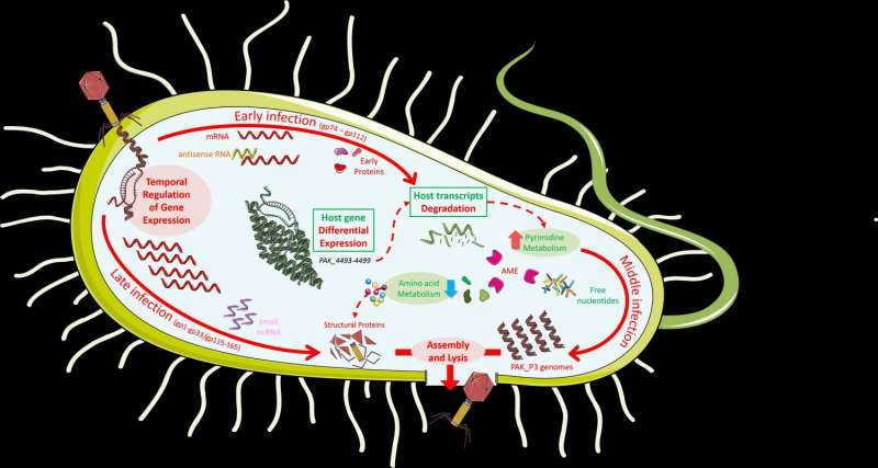 Potential phage therapy virus massively alters RNA metabolism during infection