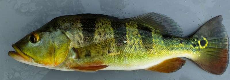 Predator invasion had devastating, long-term effects on native fish