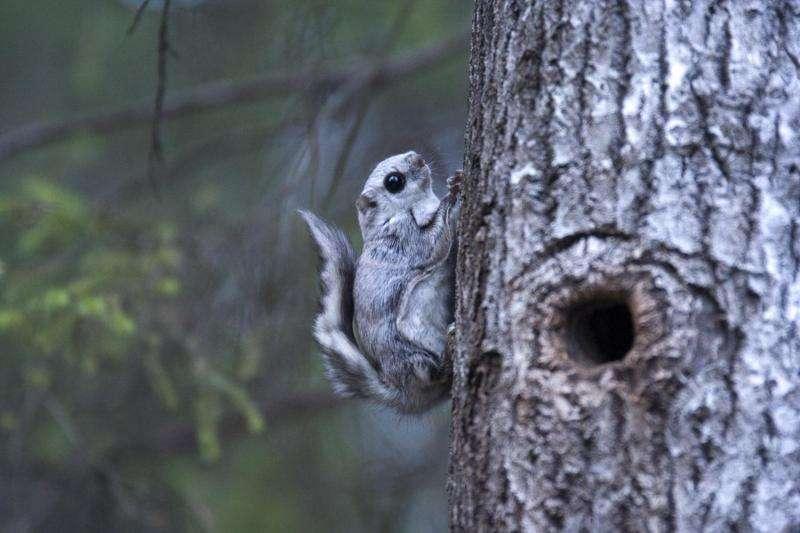 Predicting suitable habitats for the Siberian flying squirrel in different felling scenarios