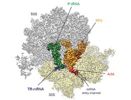 Protein synthesis: Ribosome recycling as a drug target