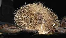 Public urged to help solve the mystery of why one of Britain's best-loved animals, the hedgehog, is in decline
