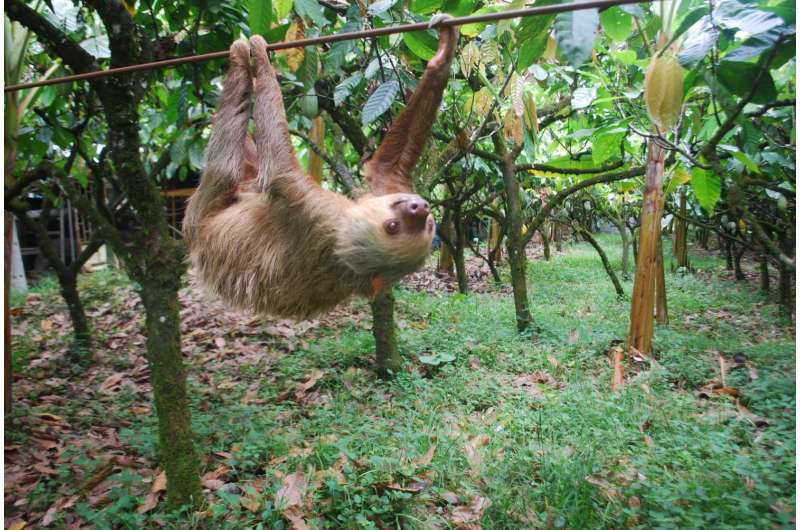 Putting the sloth in sloths: Arboreal lifestyle drives slow motion pace