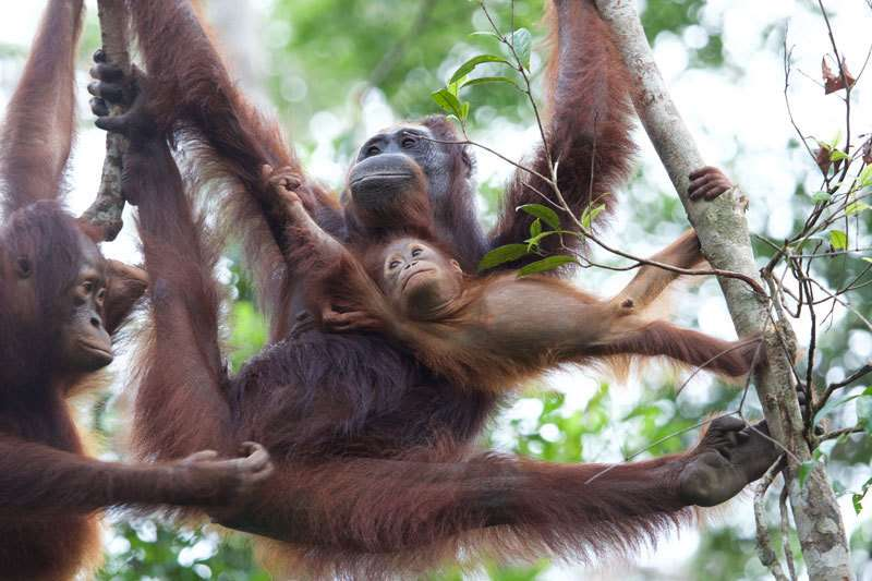 Reintroduction of genetically distinct orangutan subspecies has led to hybridization in an endangered wild population