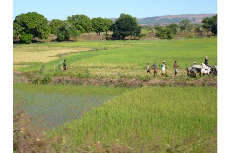 Remains of rice and mung beans help solve a Madagascan mystery