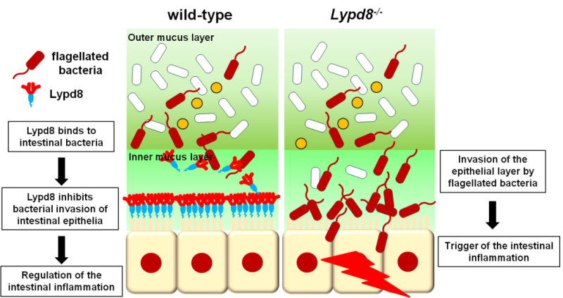 Revealed mechanism for inhibiting bacterial invasion of colonic epithelia