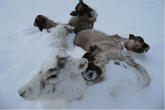 Rise in reindeer deaths in the Arctic linked with loss of sea ice and extreme weather