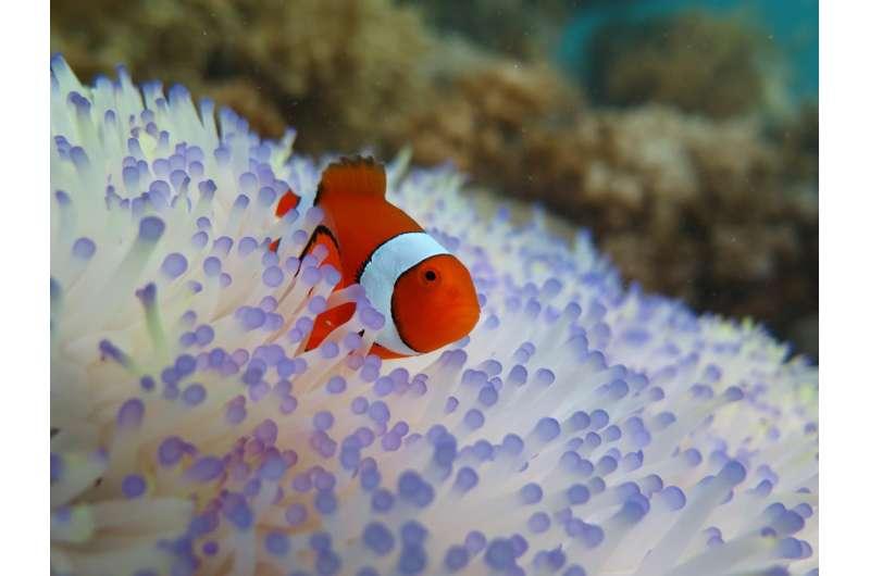 Saving Nemo: Bleaching threatens clownfish