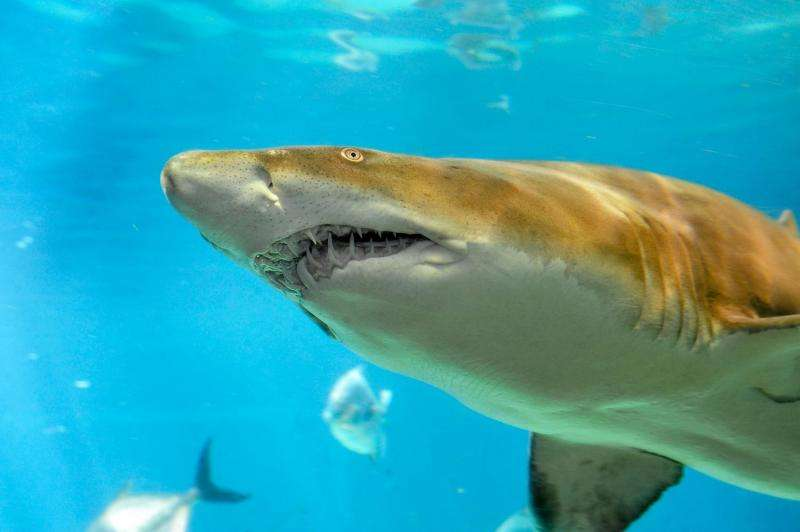 Scientists discover nursery ground for sand tiger sharks in Long Island's Great South Bay