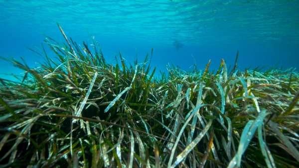 Seagrass a crucial weapon against coastal erosion