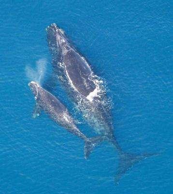 Seismic Surveys Could Threaten Endangered Whales
