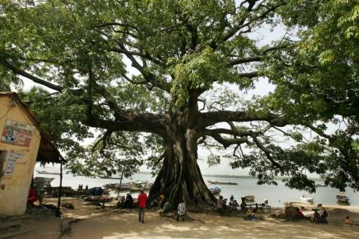 Senegal has lost more than a million trees since 2010 while farmers in Gambia have pocketed 140 billion CFA ($238 million, 213 m