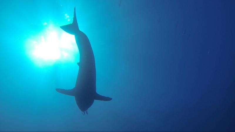 SharkCam tracks great whites into the deep