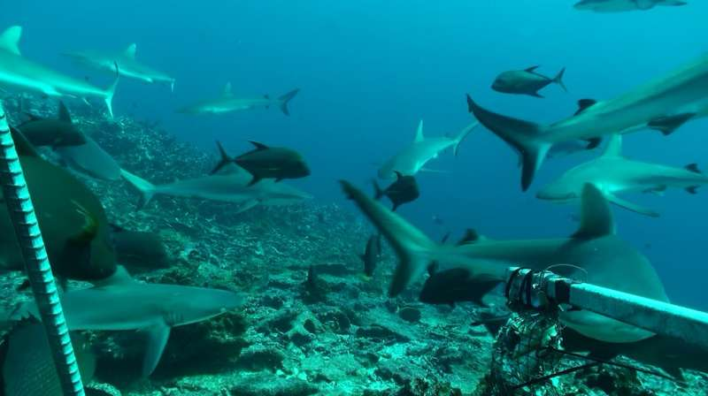 Shark census reaches first 100 reefs: Early findings of global survey show existing data may be inaccurate