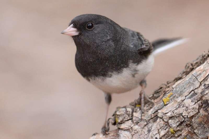 Shorter telomeres reveal stress in migratory birds
