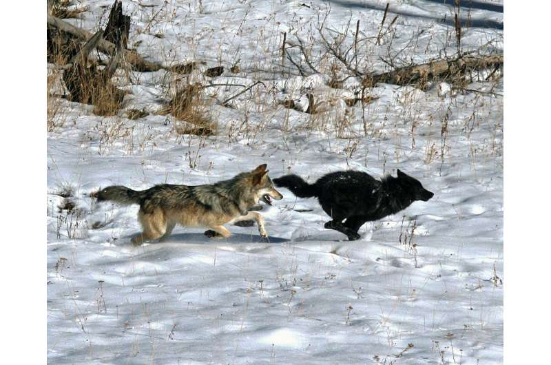 Should the gray wolf keep its endangered species protection?