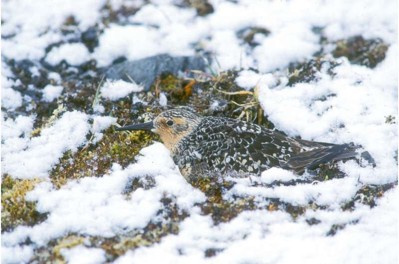Shrinking shorebird pays the bill for rapid Arctic warming while wintering in the tropics