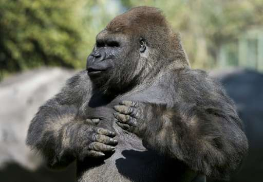 Silverback gorilla Bantu at the Chapultepec zoo in Mexico City in 2014