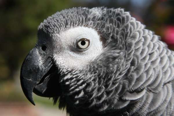 Singapore's wild bird trade raises troubling questions about African grey parrots