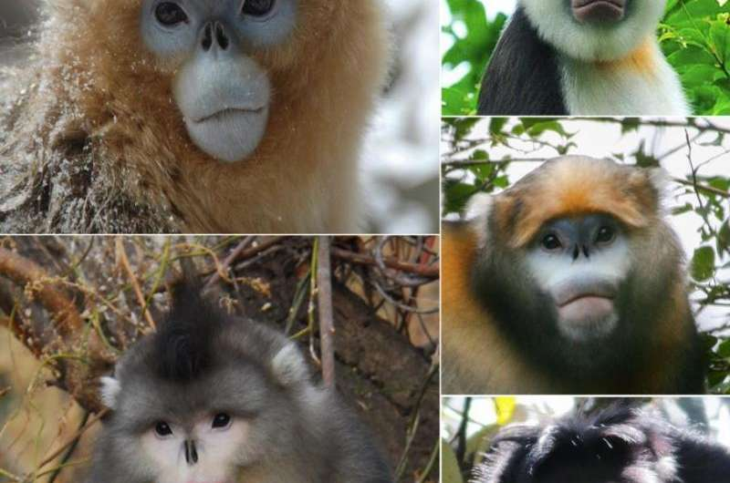 Snub-nosed monkeys: Conservation challenges in the face of environmental uncertainty