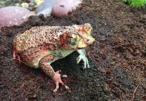 Soaring species: Endangered baby toads fly to Puerto Rico