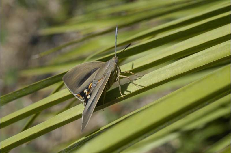 Some moths behave like butterflies to mate