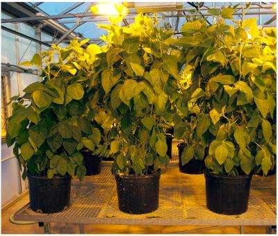Soybean nitrogen breakthrough could help feed the world