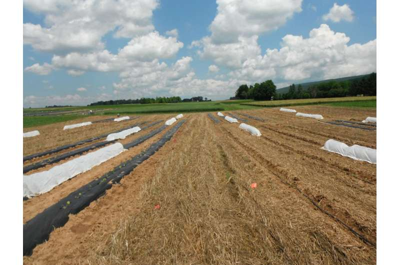 Strip tillage, rowcovers for organic cucurbit production