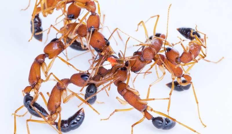 Study argues 'winner-winner' behavior may shape animal hierarchies