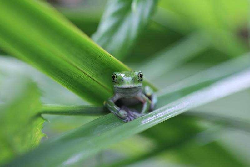 Study: Deadly amphibian fungus may decline