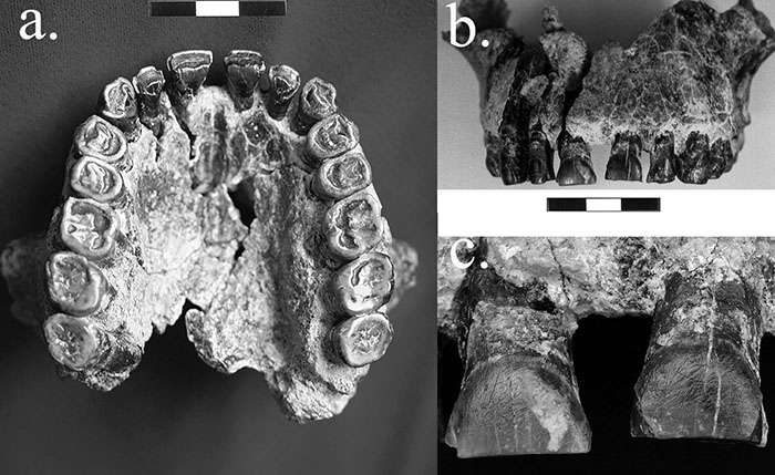 Study finds earliest evidence in fossil record for right-handedness