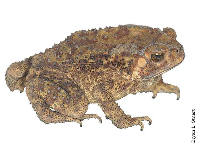 Study of Asian common toad reveals 3 divergent groups