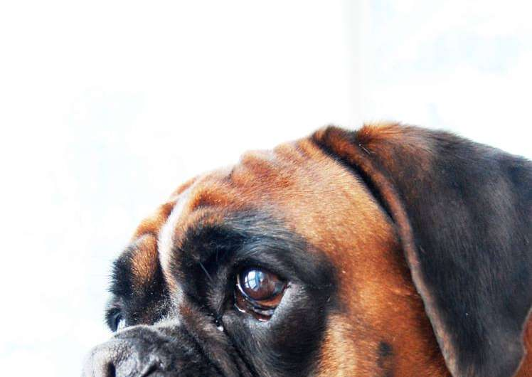 Study of glioma susceptibility in dogs may yield insights for humans