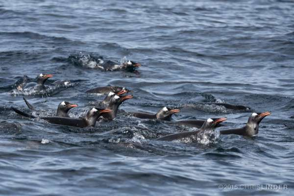 Study seeks to better understand foraging competition between Adelie, gentoo penguins