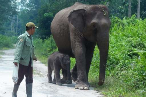 Sumatran elephants are critically endangered. It is estimated between 2,400 and 2,800 remain in the wild, according to the conse